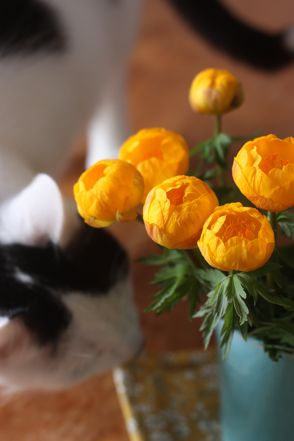 Trollius_by_madame_love_cheddar_the_cat