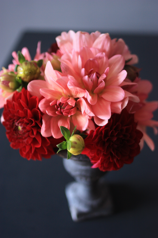 dahlia_red_pink