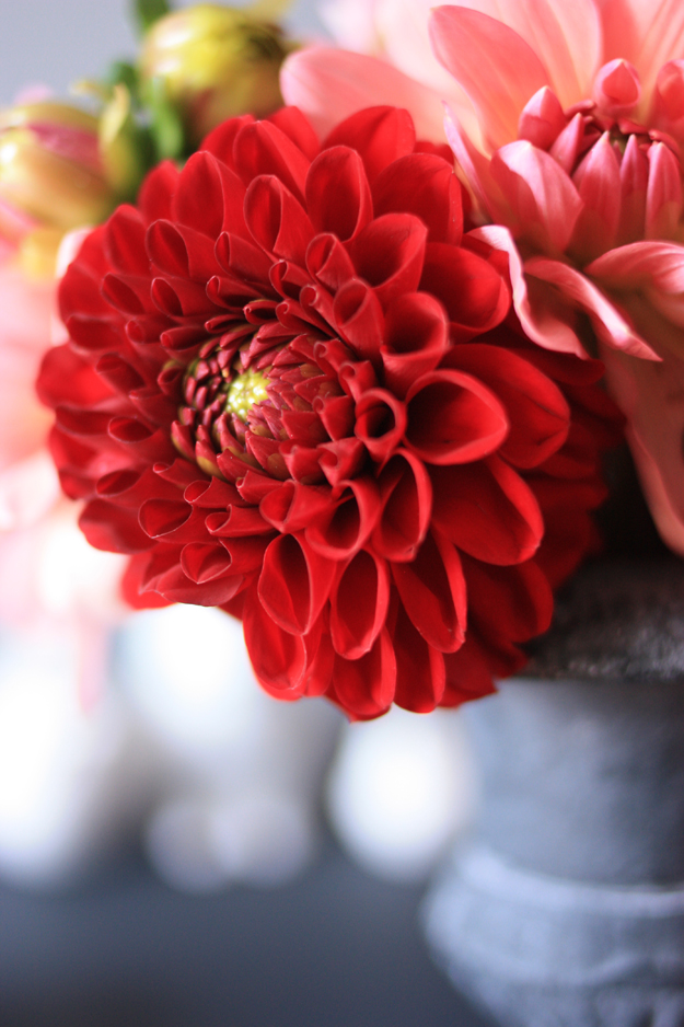 dahlia_red_pink_1