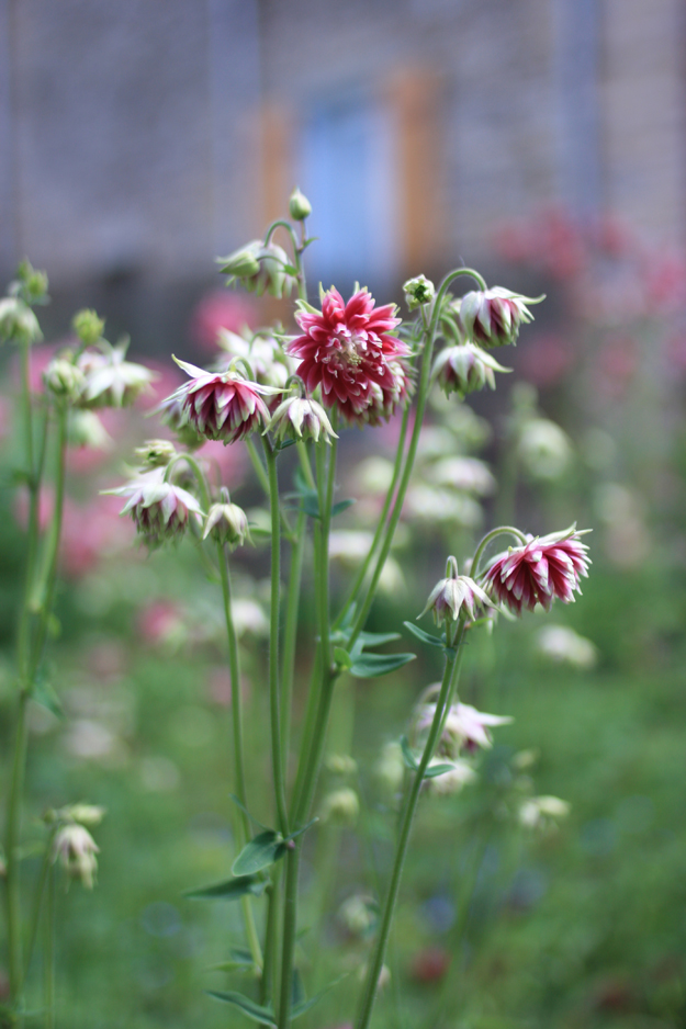 double_aquilegia_in_the_garden_1
