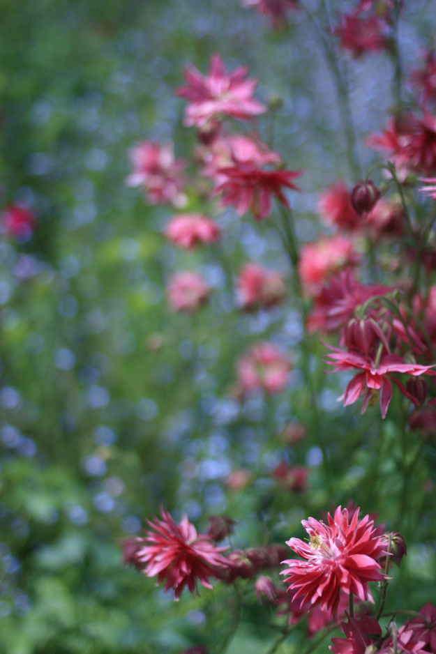 double_aquilegia_in_the_garden_7