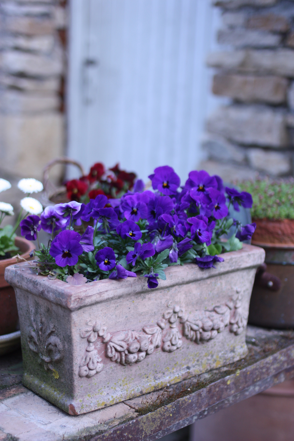french garden blue pansies