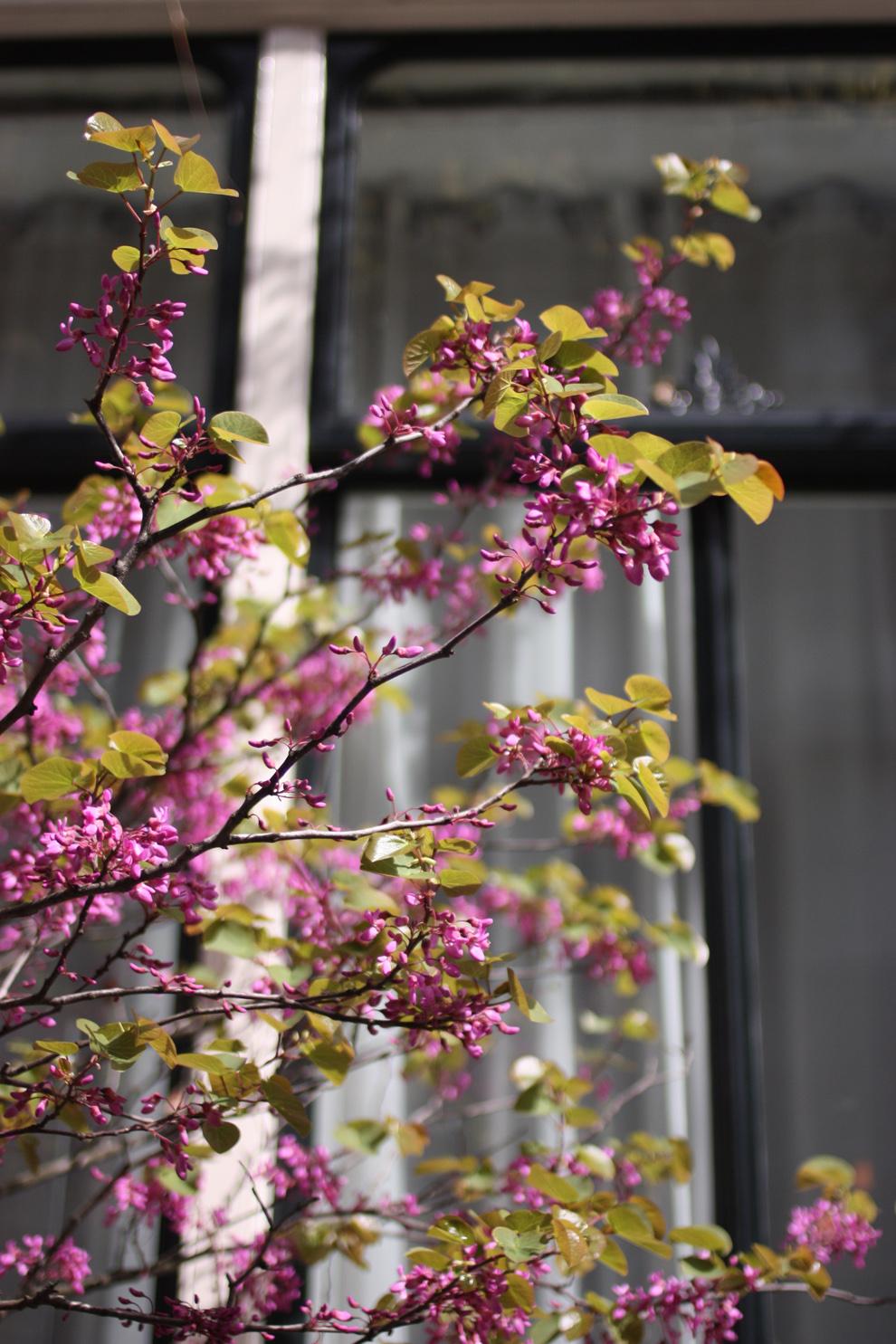 green_Amsterdam_lilac
