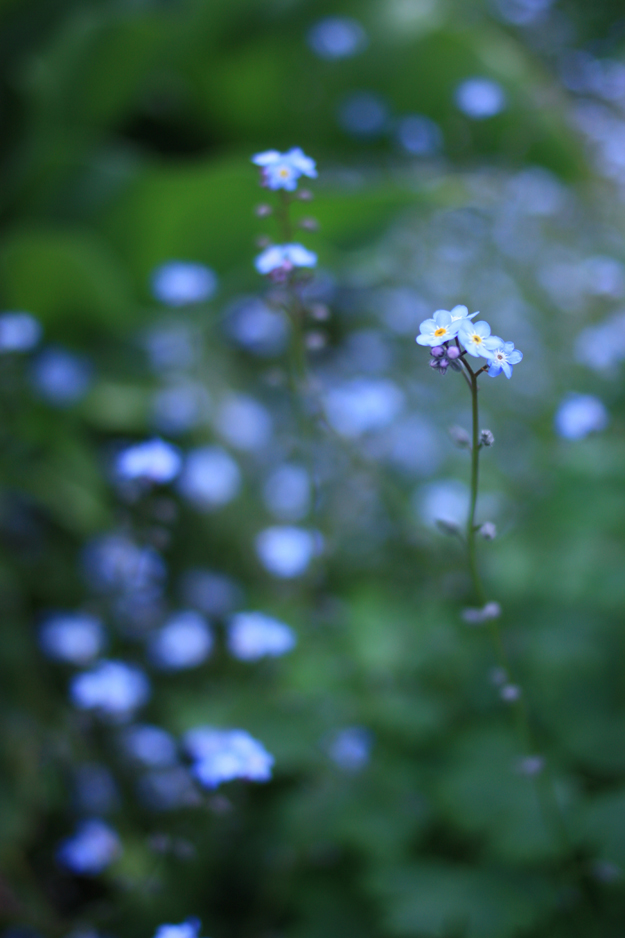 myosotis_in_the_garden_2