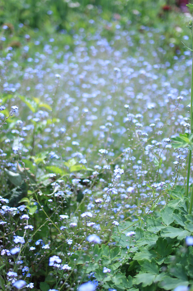 myosotis_in_the_garden_3