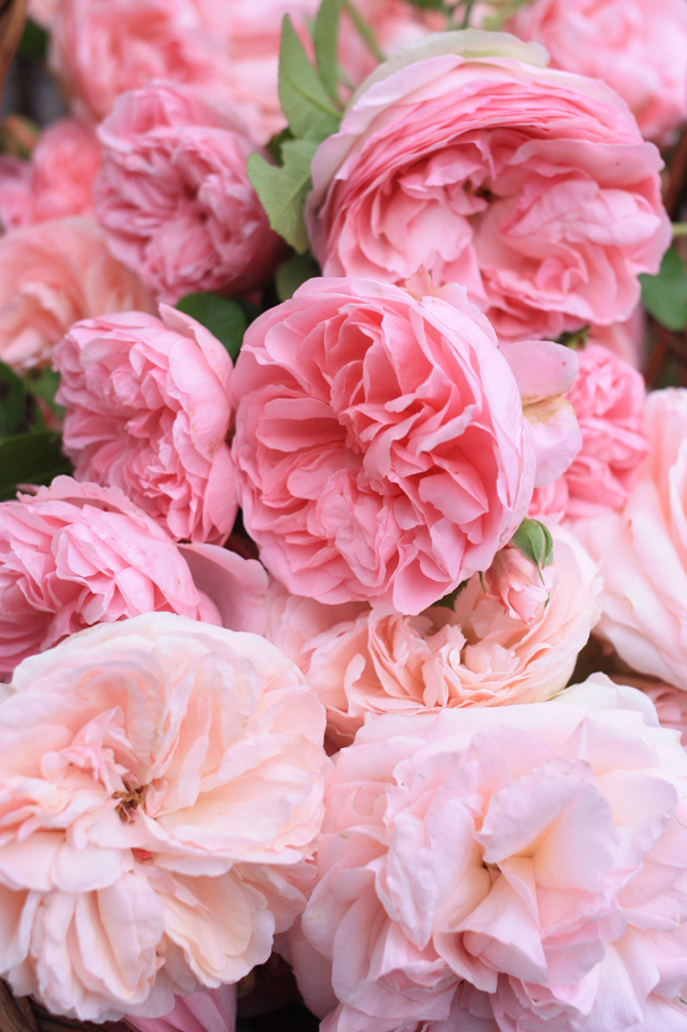 pile_of_roses