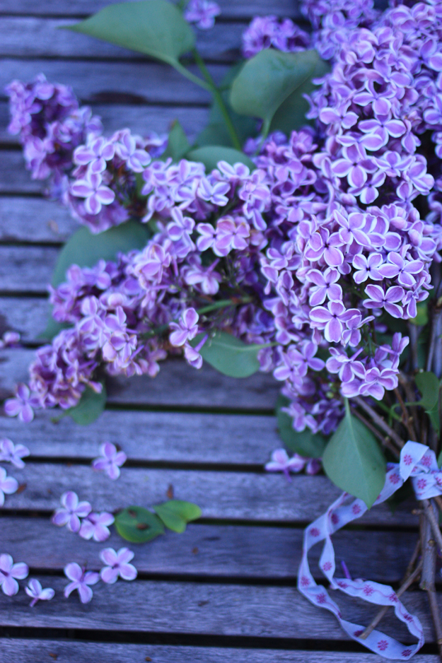 purple lilac on the table with rubbon