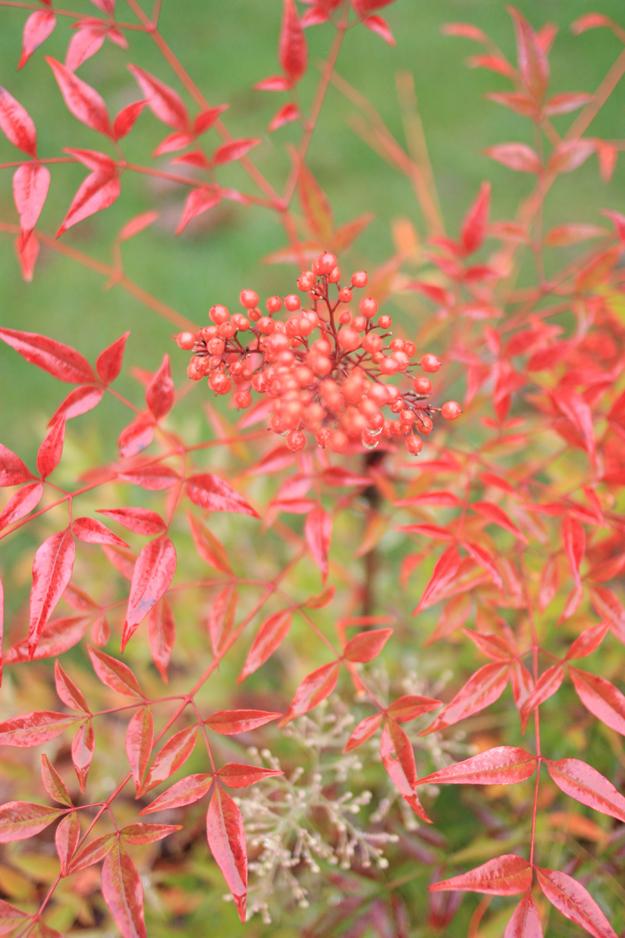 red_berries