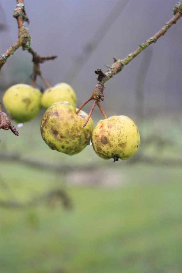 tiny_apples