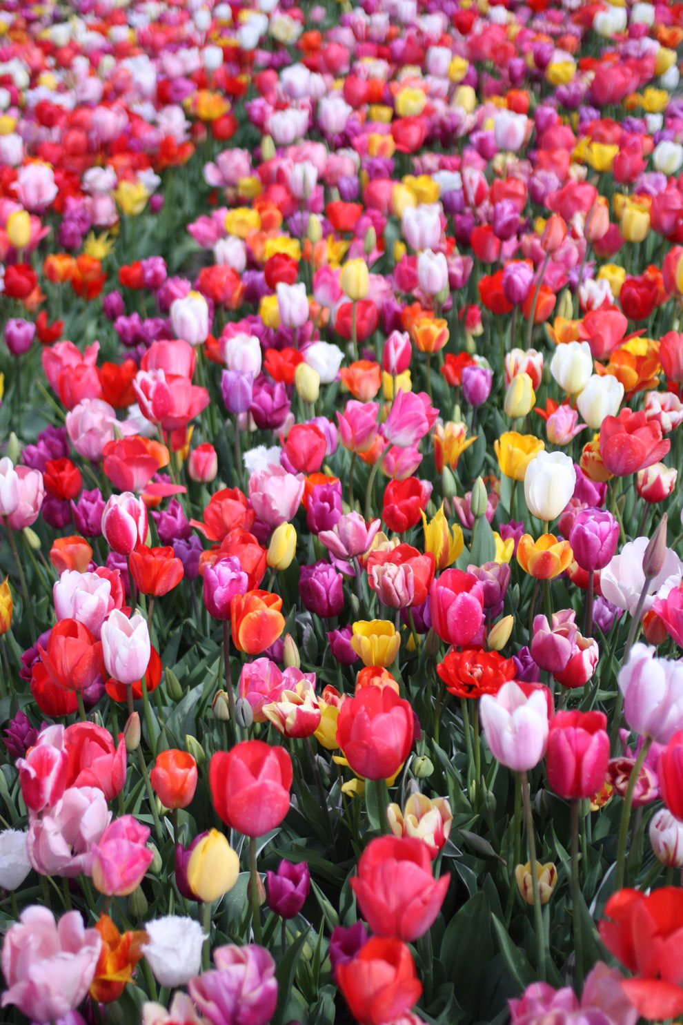 Keukenhof14_colourful_tulip1.jpg