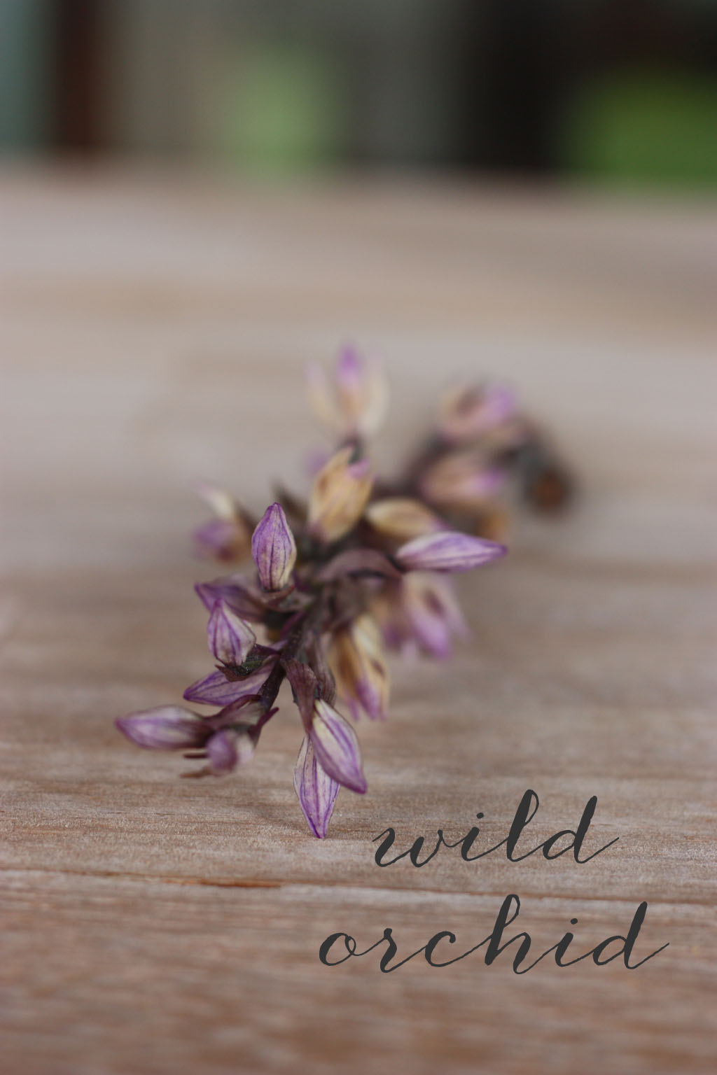 wild orchid from the costa brava