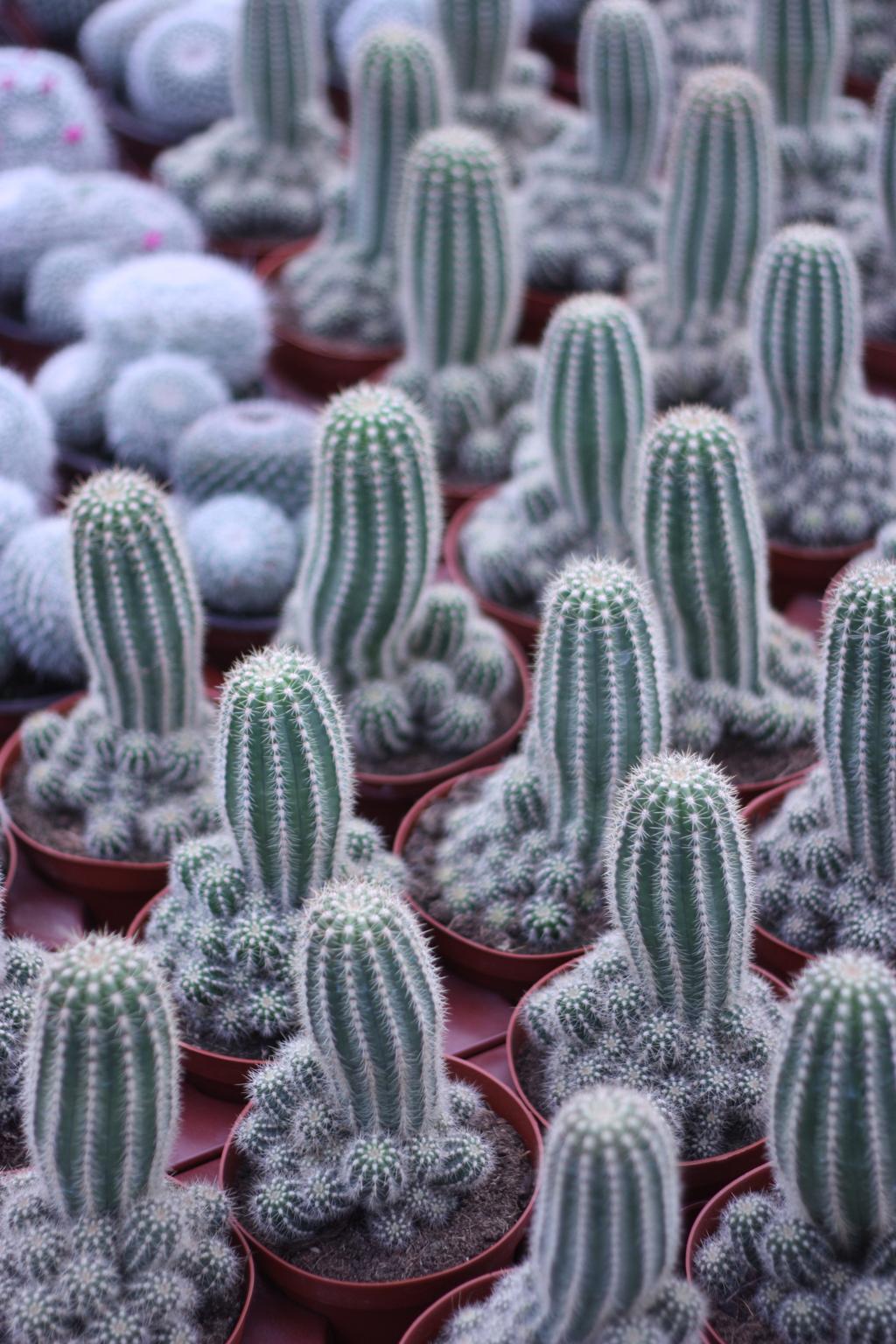 cactus_farm_8