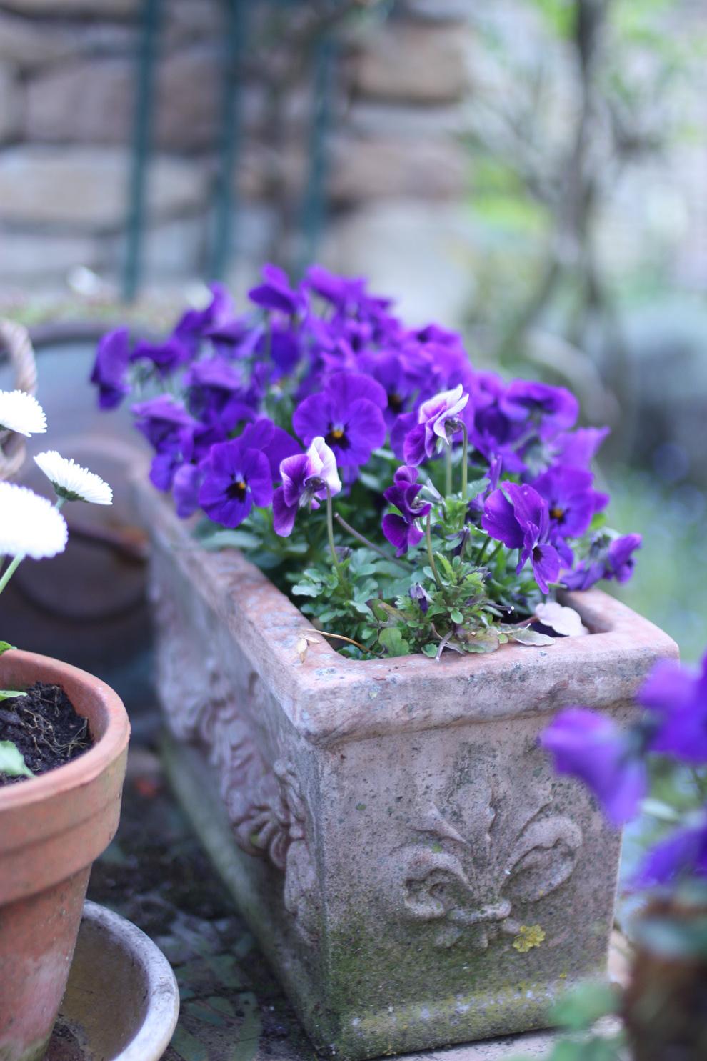 French_garden_pansies