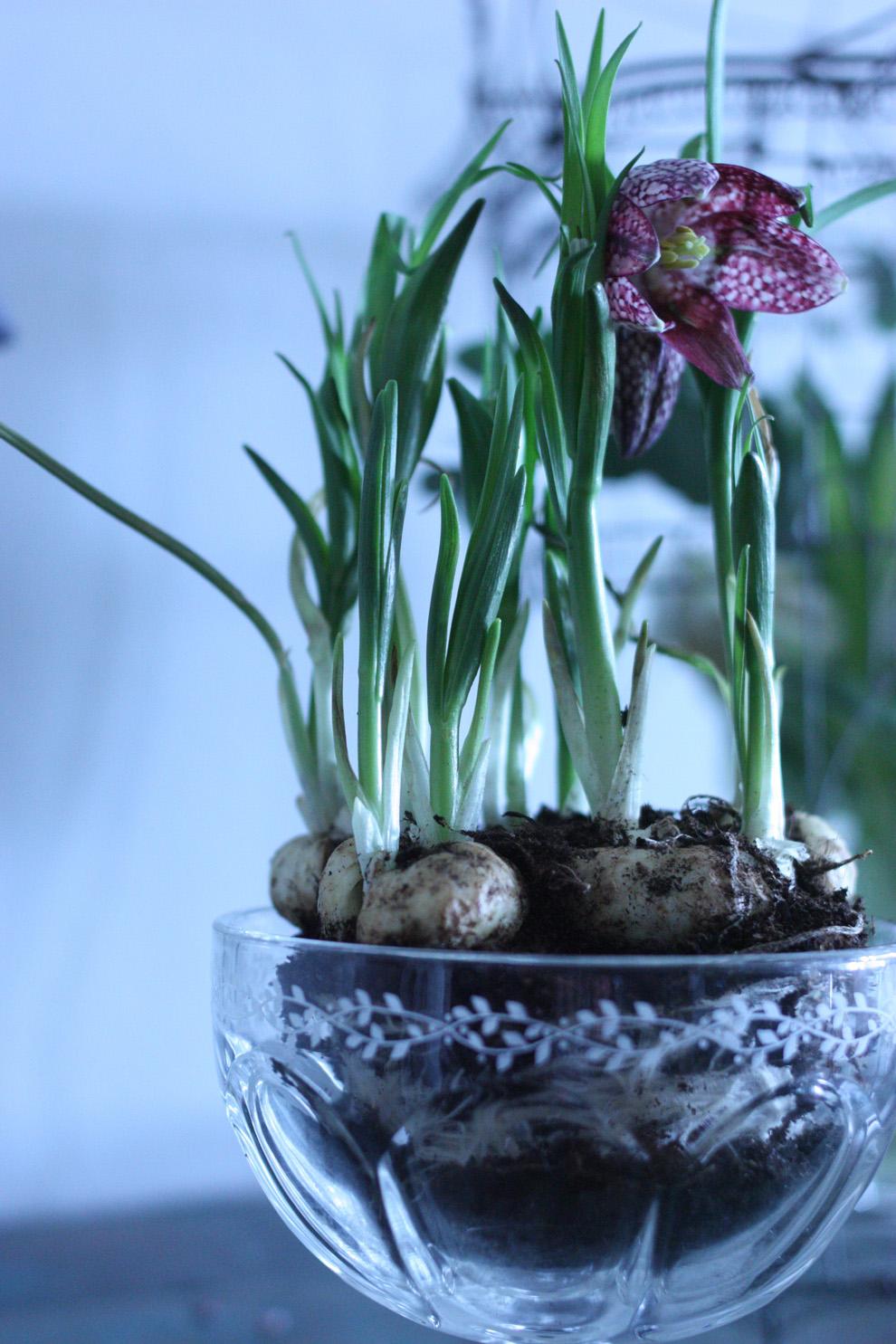 Fritillaria_bulbs_flower