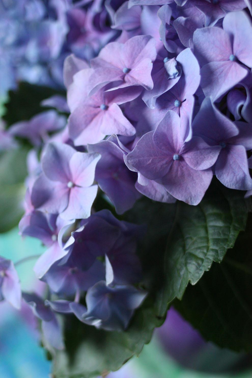 Hortensia_blue_detail