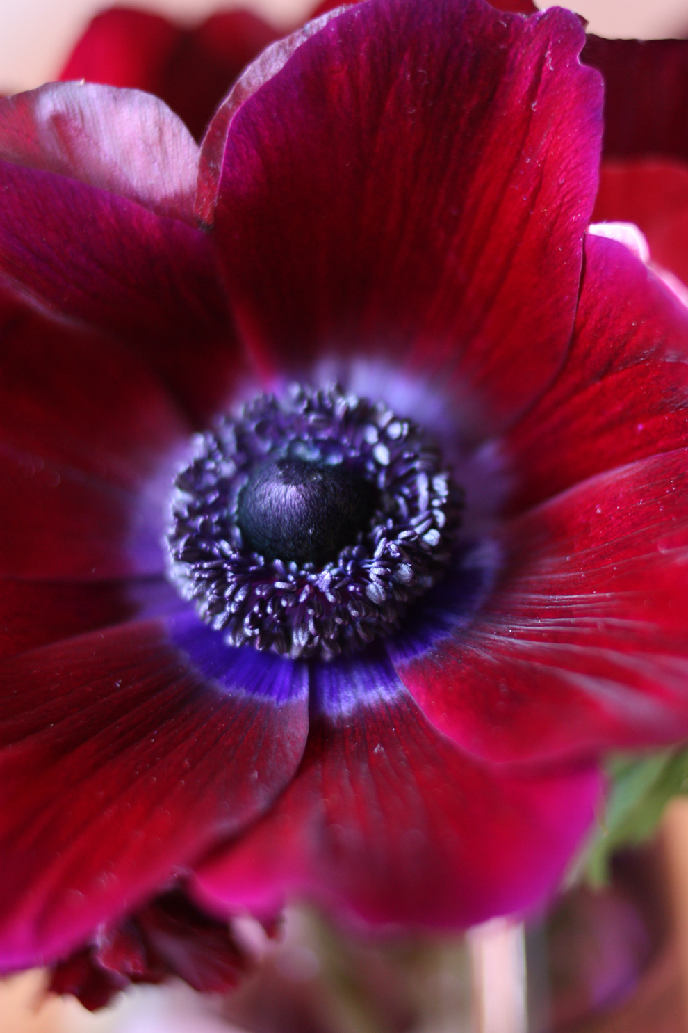 anemone_red_bloom