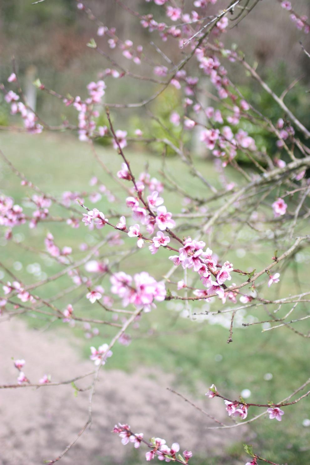 blossom peach tree