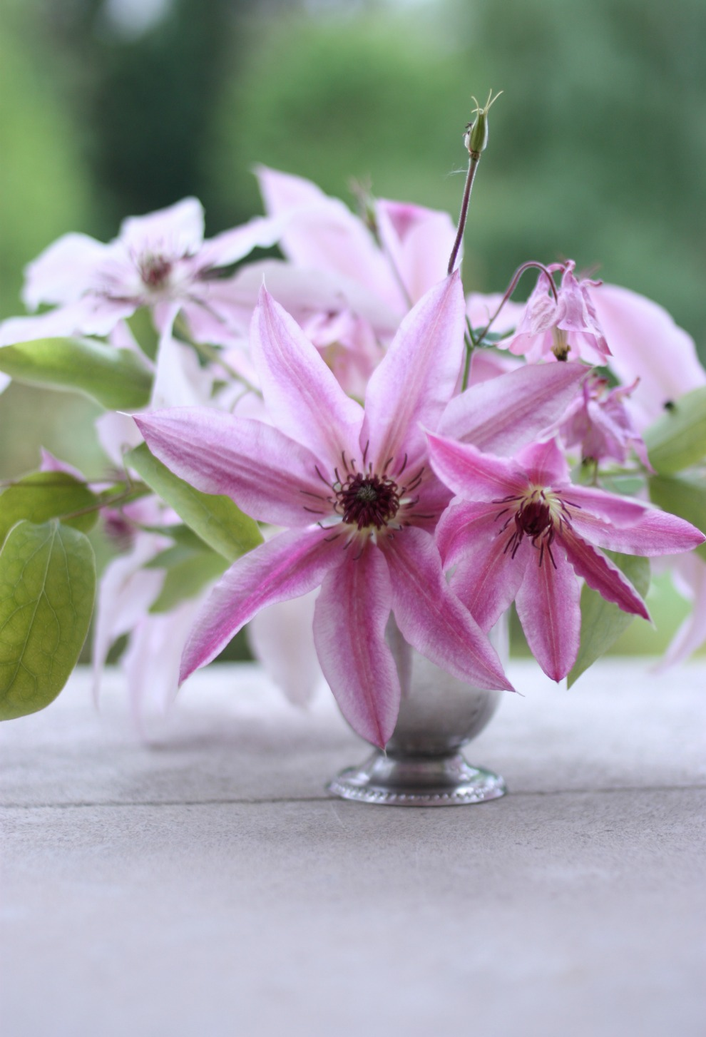 clematis_by_madame_love