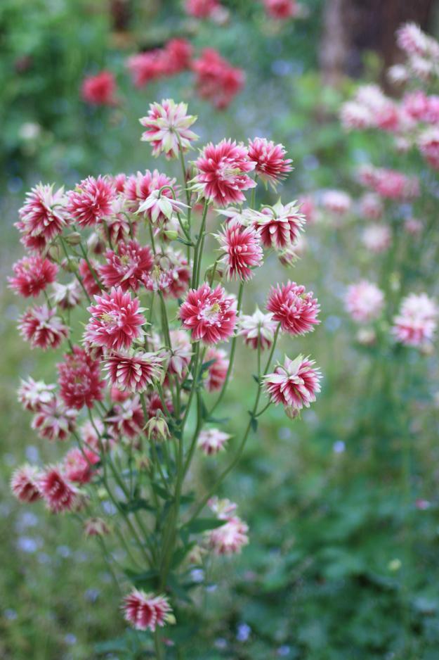 double_aquilegia_in_the_garden_8
