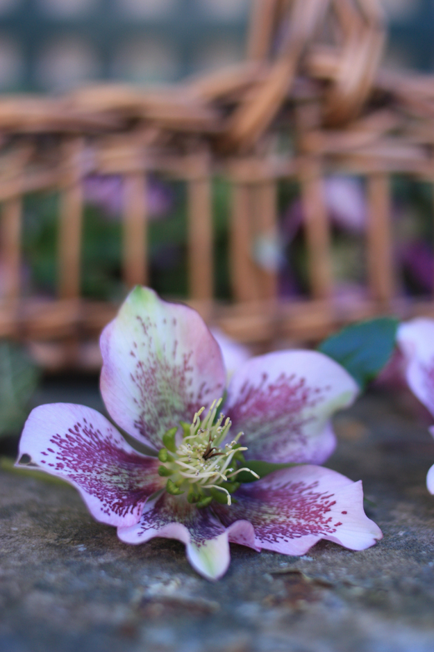 hellebores_by_madame_love_5