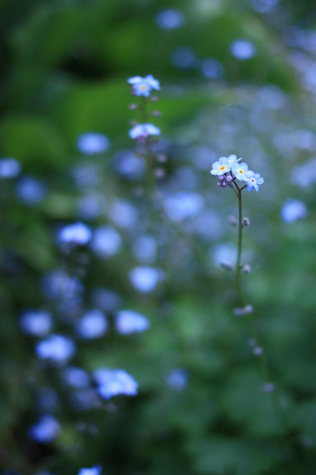 myosotis_in_the_garden_2