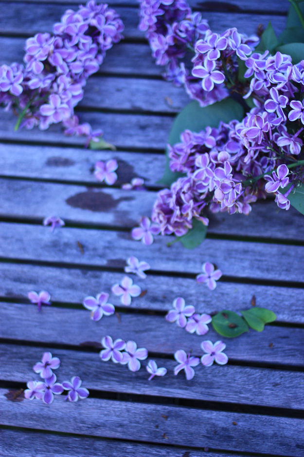 purple lilac on the table