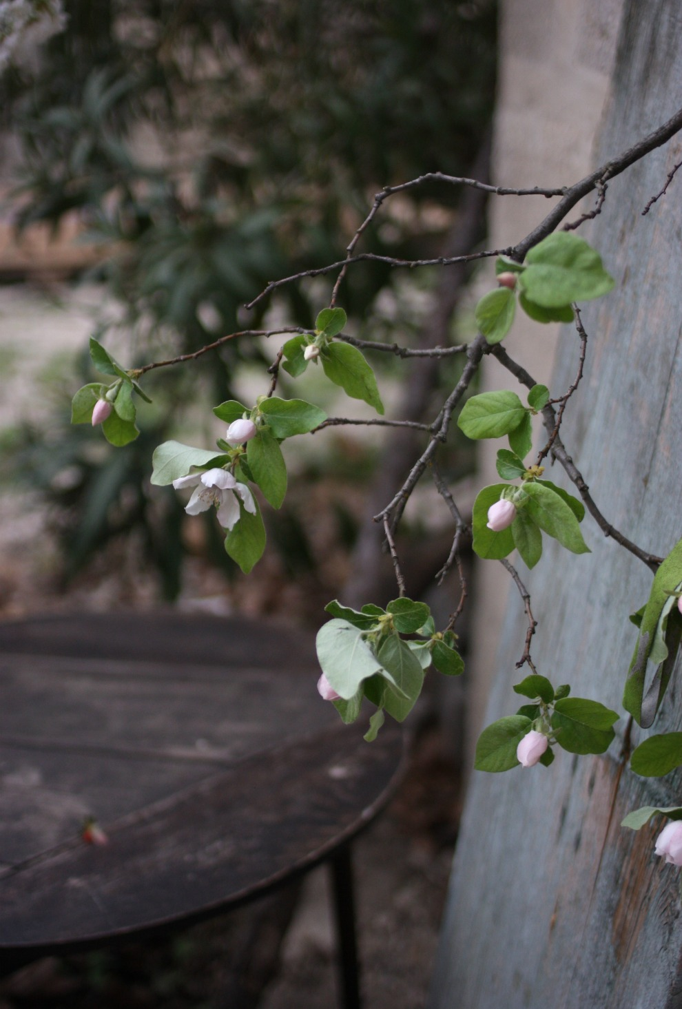 quince-branches.jpg