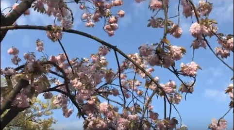 Blossoming trees in spring.jpeg