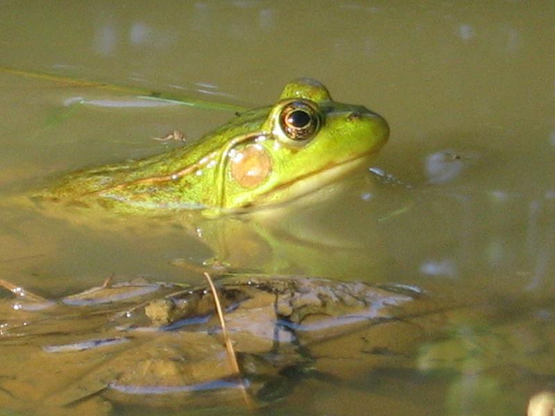 Green Frog (Jomegat)