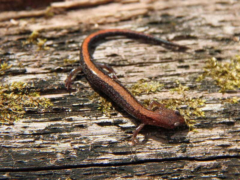 Red-Backed Salamander (Greg Schechter)