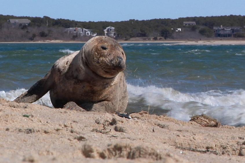 Harbor Seal (Dan Martino)