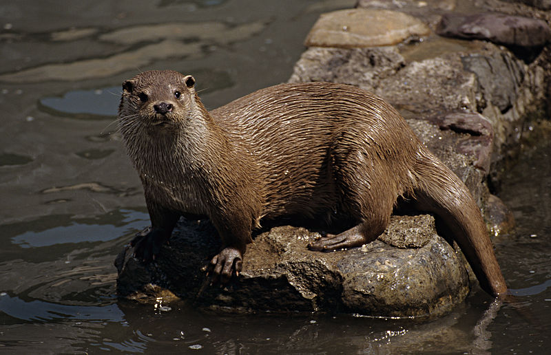 Otter (Foto-Ardeidas)