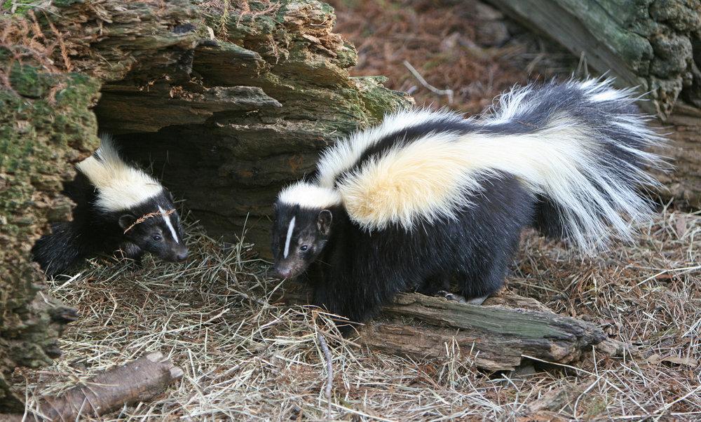 Skunk (Tom Friedel)