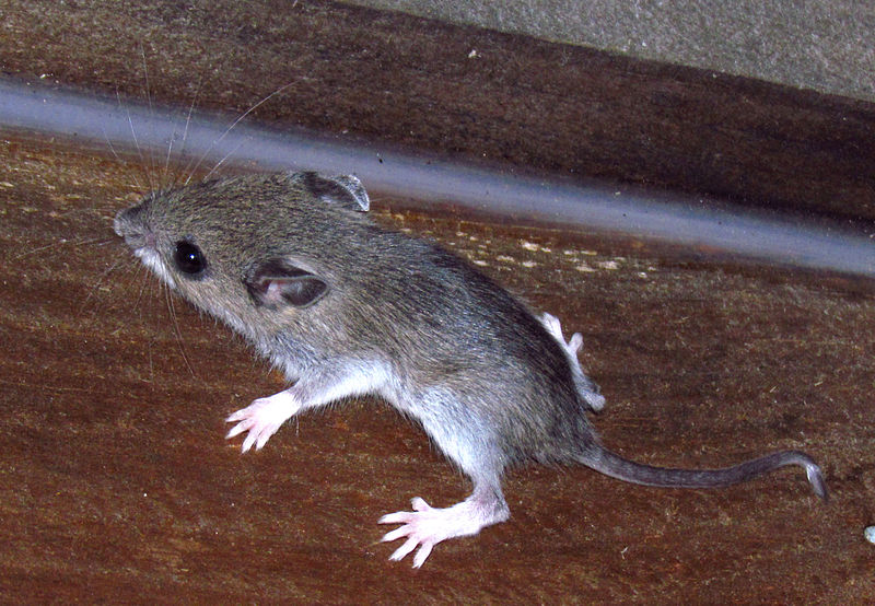 White-footed Mouse (D. Gordon E. Robertson)