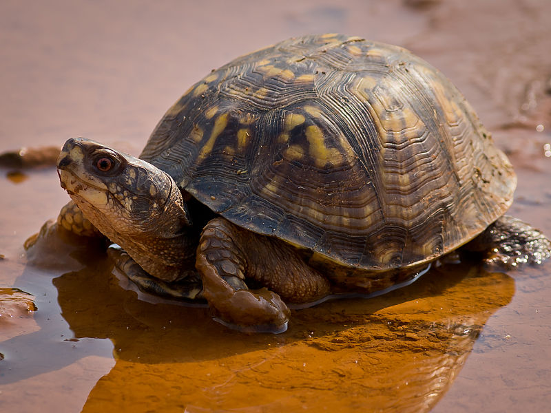 Eastern Box Turtle (Ken Thomas)