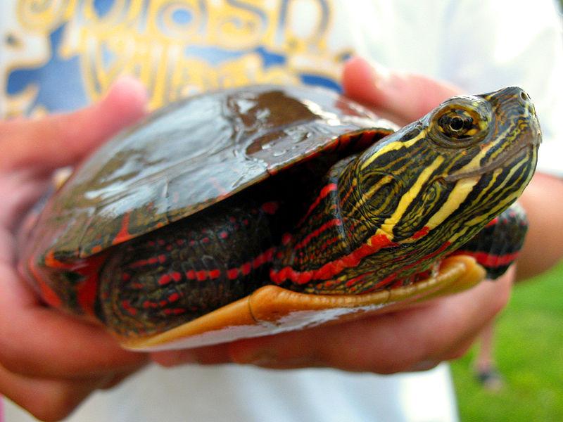 Painted Turtle (Dustykid)
