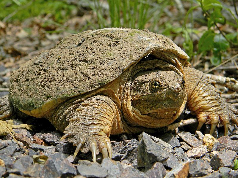 Snapping Turtle (Dakota L.)