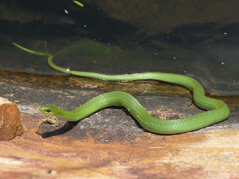 Smooth Green Snake (Martha Dol.)