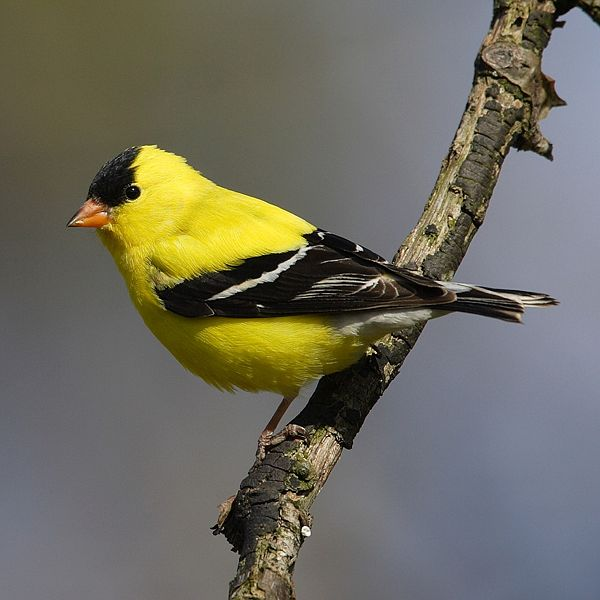 American Goldfinch (mdf)