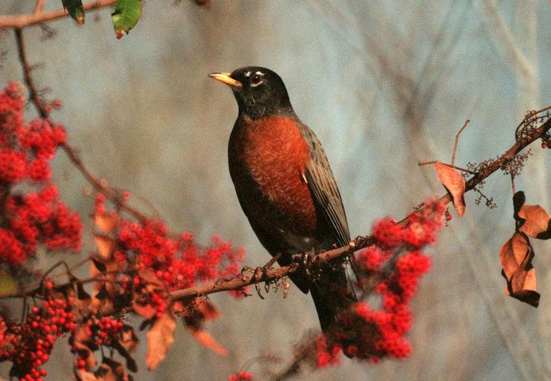 American Robin (Nasa)