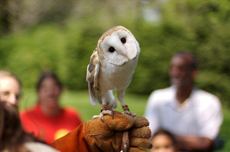 Barn Owl (Jeff Kubina)