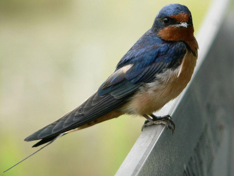 Barn Swallow (Walter Siegmund)