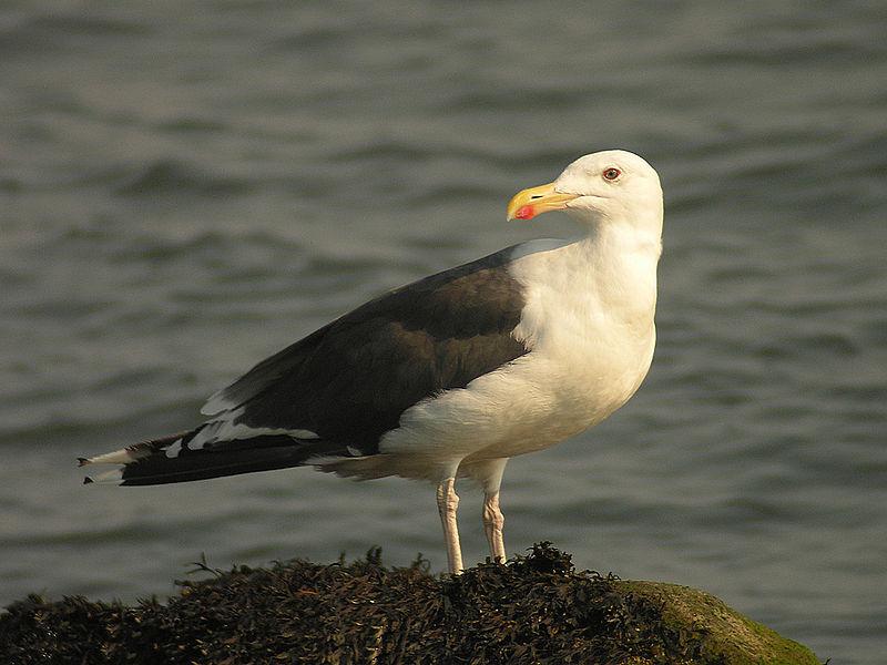 Black-Backed Gull (Len Blumin)