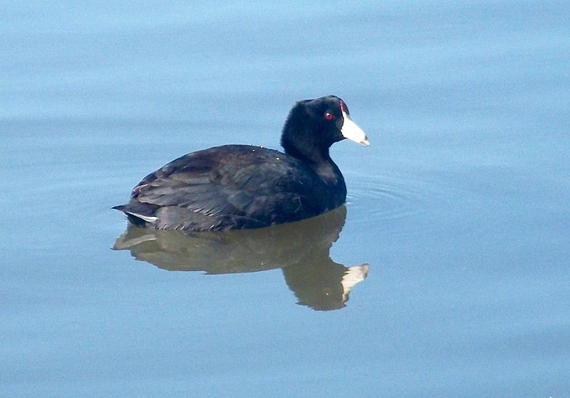 Black Duck (Coro)