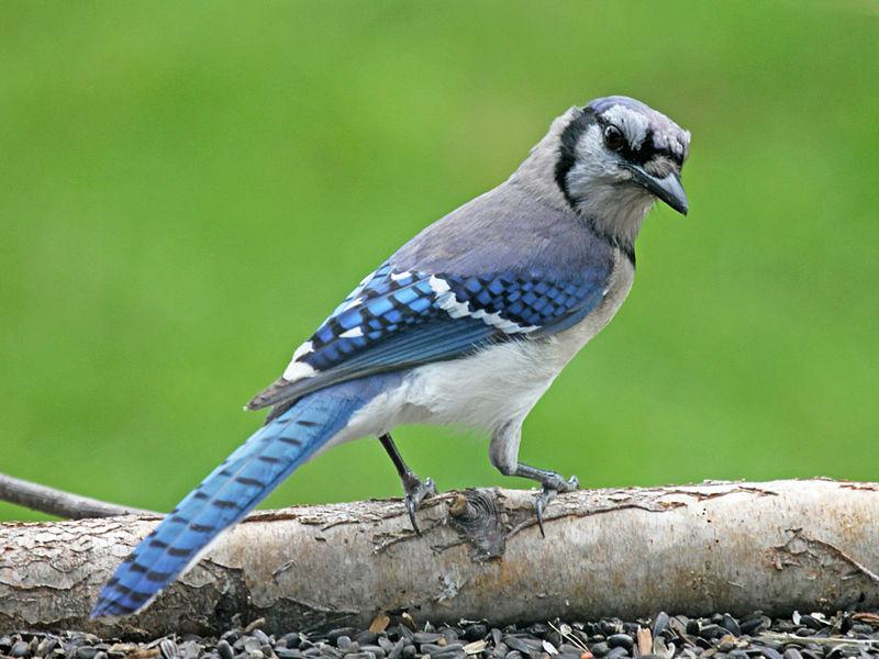 Blue Jay (Dick Daniels)
