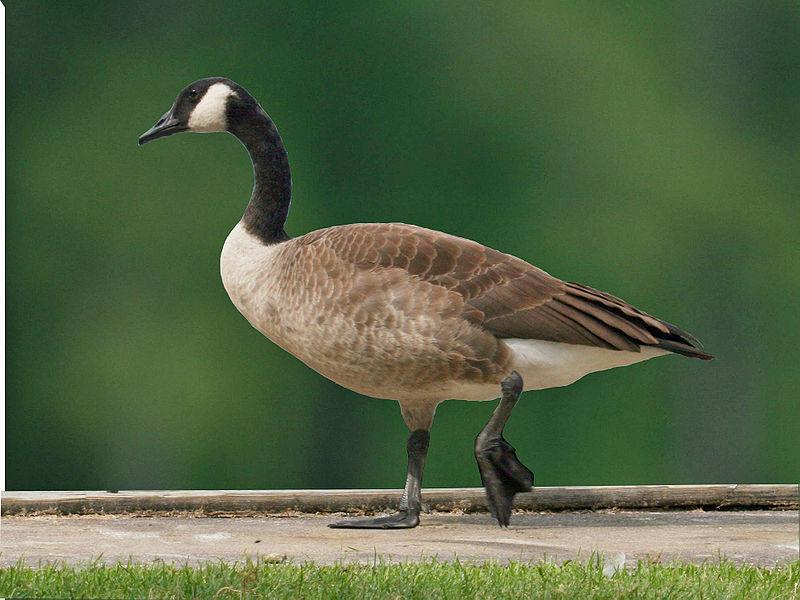 Canada Goose (Dick Daniels)