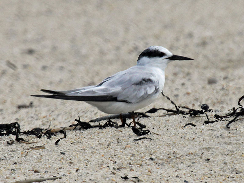 Common Tern (Dick Daniels)