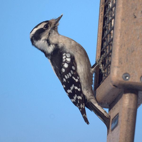 Downy Woodpecker (Magnus Manske)