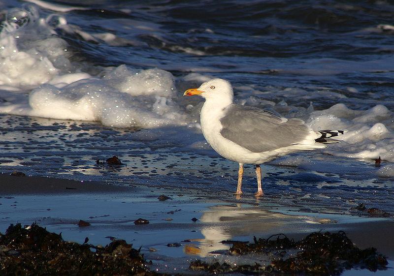 Herring Gull (Malene Thyssen)