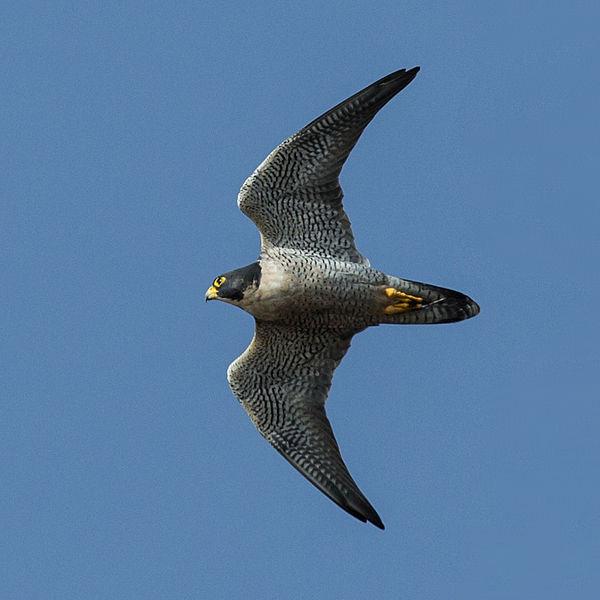 Peregrine Falcon (Mike Baird)